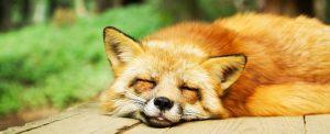 Image of fox sleeping Sleep