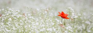 image of 1 red flower among background of white flowers becoming a naturalist